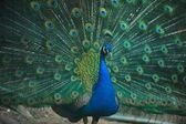 Peacock bird closeup background — Stock Photo