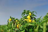 Fresh organic food peppers — Stock Photo