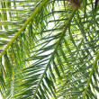 Stock Photo: Palm branches background