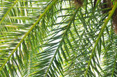 Palm branches background — Stock Photo