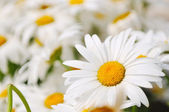 Daisy flower backgorund closeup — Stock Photo