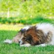 oude, zieke hond — Stockfoto