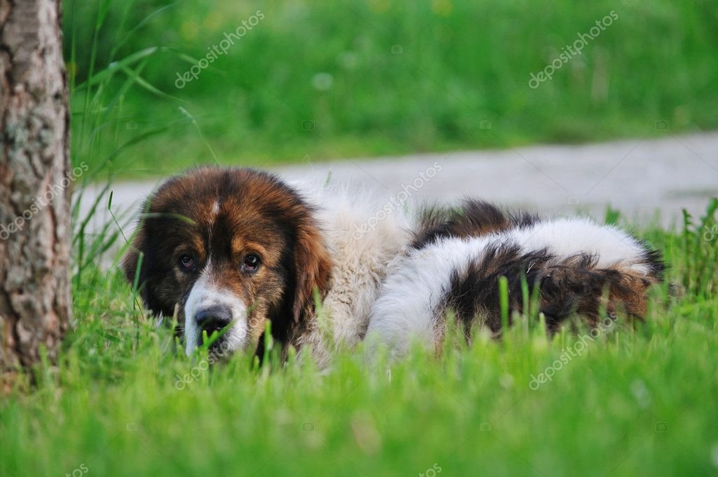 Old sick dog lie and sleep on grass on meadow outdoor — Stock fotografie #5382707