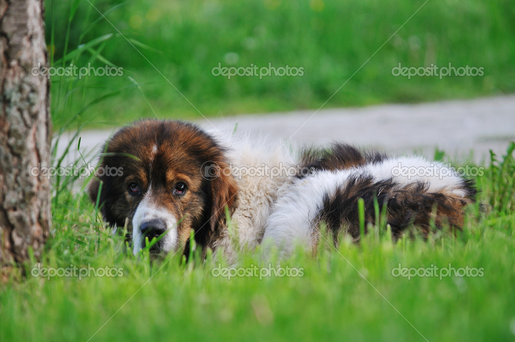 Old sick dog lie and sleep on grass on meadow outdoor — Стоковая фотография #5382707