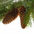 Fir tree with cones — Foto de Stock