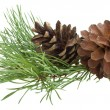 Pine branch with cones — Stock Photo #4060814