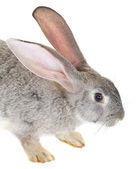 Gray rabbit — Stock fotografie