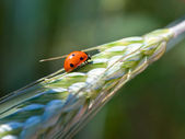 Ladybird on wheat ear — Stock Photo