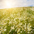 Field of wild chamomiles — Stock Photo