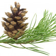 Pine branch with cone - Stock Photo