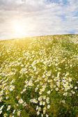 Field of wild chamomiles — Stock Photo