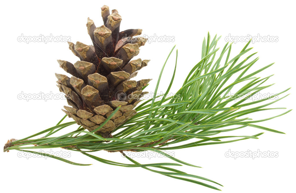 Close-up pine branch with cone, isolated on white — Stock Photo #4145415
