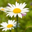 Camomile on green grass background — Stock Photo