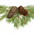 Fir tree branches with cones - Stock Photo