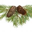 gałęzie drzewa jodły z szyszek — Zdjęcie stockowe