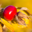 Ripe rosehip, selective focus — Stock Photo #4160967