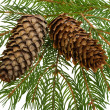 Stock Photo: Fir tree with cones