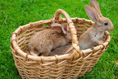 Small bunnies in basket — Stock Photo