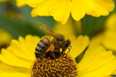Bee on yellow flower — Stock Photo