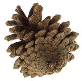 Big pine cone — Stock Photo