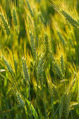 Close-up ears of wheat — Stock Photo