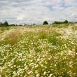 Field of wild chamomiles — Stock Photo #4274156
