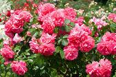 Krzew piękny róż — Zdjęcie stockowe