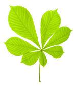 Green chestnut leaf — Stock Photo