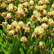 Stock Photo: Yellow-brown irises