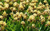 Yellow-brown irises — Stock Photo
