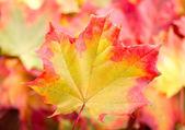 Autumn maple leaf — Stock Photo