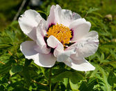 White peony against green background — Stock Photo