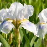White iris, spring flower — Stock Photo