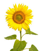 Sunflower, isolated on white — Stock Photo
