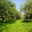 Stock Photo: Blossoming apple orchard