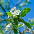 Blossoming cherry branch in april - Stock Photo