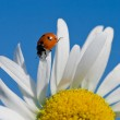 Red ladybird on chamomile petal — Stock Photo #4943721