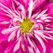 Wet pink chrysanthemum flower - 图库照片