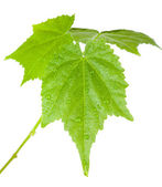 Groene bladeren met waterdruppels — Stockfoto
