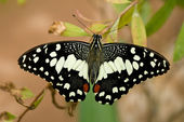 Swallowtail lemon butterfly (papilio demoleus) — ストック写真