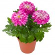 Wet pink chrysanthemum flowers in pot — Stock Photo