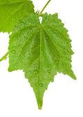 Folha verde com água cai — Foto Stock