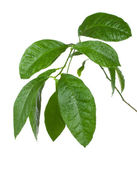 Wet branch of lemon tree — Stock Photo