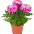 Wet chrysanthemum flowers in pot — Stock Photo