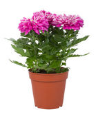 Pink chrysanthemum flowers in pot — Foto Stock