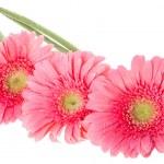 gerbera rosa flores — Foto Stock