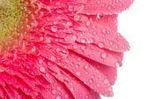 Růžová gerbera kapkami vody — Stock fotografie
