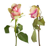 Fresh and dried rose — Stock Photo