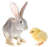 Rabbit and chick — Stock Photo