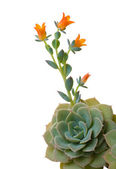 Blossoming echeveria — Stock Photo